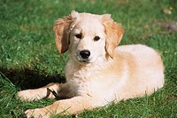 Golden Retriever puppy lying in the grass