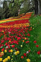 Blooming tulips (Tulipa), island of Mainau, Baden-Wuerttemberg, Germany, Europe