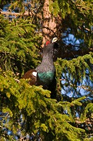 Wood Grouse Tetrao urogallus performing courtship display on a tree, Vaestergoetland, Sweden, Scandinavia, Europe