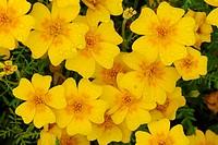Lemon marigold, Signet marigold Tagetes tenuifolia, Tagetes signata, flowers