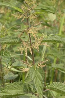 stinging nettle Urtica dioica, blooming