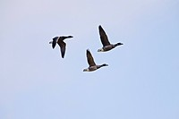 brent goose Branta bernicla, three flying individuals