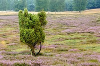 common juniper, ground juniper Juniperus communis, single bush with heath, Calluna vulgaris, Germany, North Rhine_Westphalia, Nature Reserve Westruper...