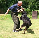 German Shepherd Dog Canis lupus f. familiaris, german shepherd working as a Schutzhund protection dog