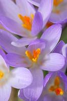 crocus Crocus tommasinianus, flowers