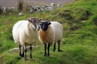 Sheep in a deserted village, Slievemore Village, Achill Island, County Mayo, Ireland