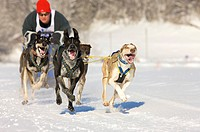 Man mushing his sled dog team of sibirian huskies at a race in winter on snow