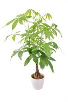 Provision Tree Pachira aquatica, potted plant