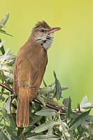 great reed warbler Acrocephalus arundinaceus, sitting on a twig, Hungary, Neusiedler See NP