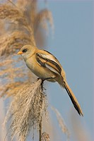 Bearded reedling, Babblers Bearded Tit Panurus biarmicus, portrait of a single animal in the reed, Hungary, Hortobagy NP