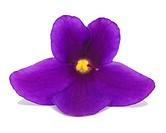 African violet Saintpaulia ionantha, single blossom