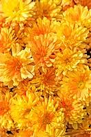 chrysanthemum, mums Chrysanthemum spec., inflorescence capitula, Garten