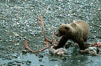 grizzly_bear Ursus arctos horribilis, feeding on carcass of a caribou, USA, Alaska
