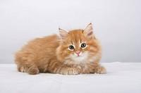 Neva-Masquerade kitten