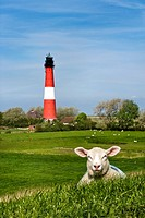 Lamb in front of the lighthouse, Pellworm, North Frisia, Schleswig-Holstein, Germany