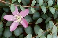 medinilla Medinilla sedifolia, flower