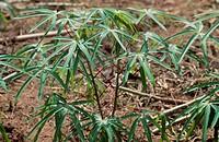 Cassava, Manioc, Tapioc, Tapioca Manihot esculenta, leaves