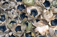 royal mallow Lavatera trimestris, mature fruits