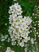 Garland Wreth Spiraea x arguta, Spiraea arguta, Spiraea multiflora x Spiraea thunbergii, inflorescence
