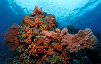 Coral block in a coral reef with a variety of red Sea Fans Melithaea ochracea, Gangga Island, Bangka Islands, North Sulawesi, Indonesia, Molukka Sea, ...