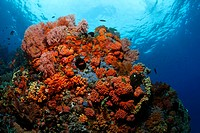 Coral block in a coral reef with a variety of red Sea Fans (Melithaea ochracea), tubastrea corals and Fairy Basslets (Antiidae), Gangga Island, Bangka...