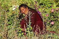 woman working in the field, India, Ladakh