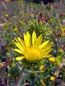 Hardy Grindelia, Scaly grindelia, Gumplant, Gumweed Grindelia robusta, inflorescence