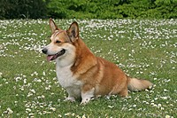 Welsh Corgi Pembroke Canis lupus f. familiaris, standing in flowering meadow