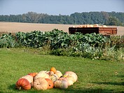 gourd Cucurbita spec., harvest on a farm, Germany