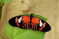 hecales longwing, passions flower butterfly Heliconius melpomene, on leaf, Ecuador