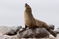 South African fur seal, Cape fur seal Arctocephalus pusillus, female at the shore, Namibia