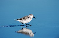 Sanderling Calidris alba, adult running in coastal flats with winter plumage, Bolivar flats, Texas, USA