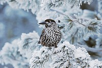 Spotted Nutcracker (Nucifraga caryocatactes), adult perched on frost covered Swiss Stone Pine (Pinus cembra) at minus degrees 15 Celsius, St. Moritz, ...
