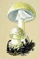 Historic illustration, Death Cap Amanita phalloides, poisonous mushroom