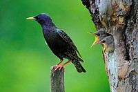 Male Sterling (Sturnus vulgaris) with fledglings