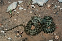 dice snake Natrix tessellata, at the shore, Turkey, Ararat
