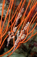 also known as orange ghost pipefish, this group appears to be one female and two smaller males