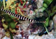 ringed oipefish Doryrhamphus dactyliophorus, Indopacific