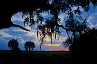 oaktree with Spanish moss, USA, Florida