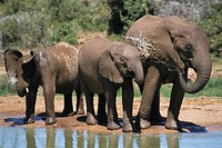 African elephant Loxodonta africana, three calfs drinking at a waterhole