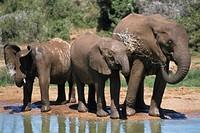 African elephant Loxodonta africana, three calfs drinking at a waterhole