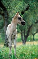 domestic horse Equus przewalskii f. caballus, foal standing on meadow