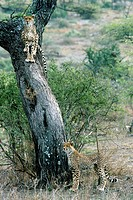 cheetah Acinonyx jubatus, two animals, one sitting on tree, the other standing below, Tanzania