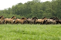 Duelmen pony Equus przewalskii f. caballus, herd in gallop, Germany