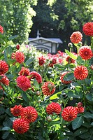 blooming red dahlia, Lichtentaler Allee, Germany, Baden_Baden