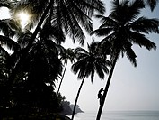 Silhouetted man climbing a palm tree to pick coconuts