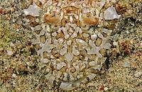 sand flathead, broadhead flathead Sunagocia arenicola, Thysanophrys arenicola, Eurycephalus arenicola, portrait, lying on sand, Philippines, Mindoro, ...