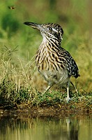 Greater Roadrunner Geococcyx californianus, adult drinking, Starr County, Rio Grande Valley, South Texas, USA