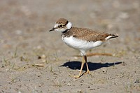 Little Ringed Plover (Charadrius dubius), young bird at Lake Darscho, Apetlon, Neusiedl am See district district, Burgenland, Austria, Europe