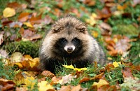 raccoon dog Nyctereutes procyonoides, one animal in autumn, Germany, Baden_Wuerttemberg, Okt.03.